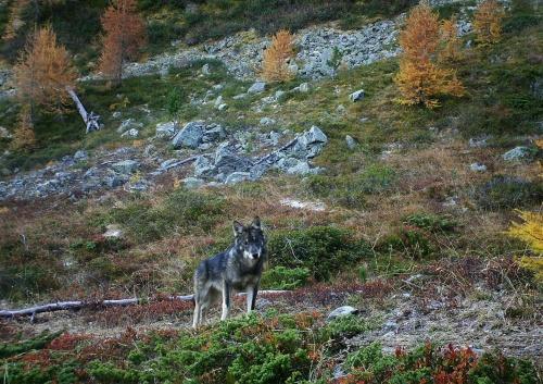 wolf-wallis-1