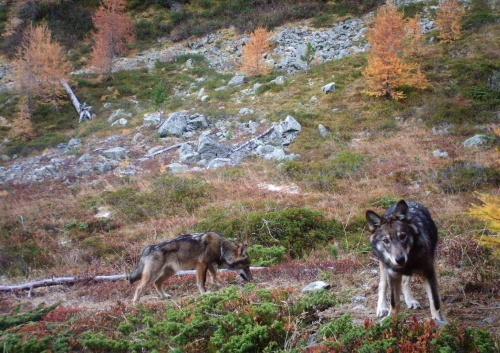 wolf-wallis-2